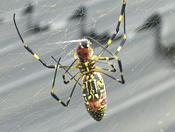 File-Joro Spider 1 south korea.jpg