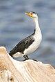 File-Microcarbo melanoleucos Austins Ferry.jpg
