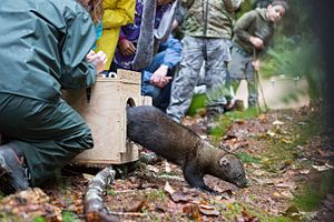 Species reintroduction - A fisher leaps from its holding container and darts off into the Gifford Pinchot National Forest.