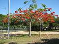 Flamboyant do Parque do Flamengo 06.jpg