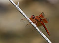 Flame Skimmer (Libellula saturata), male, dragonfly.jpg