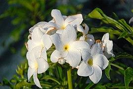 Fleur de frangipanier.jpg