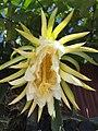 Fleur de pitaya.jpg