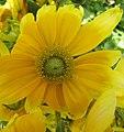 Fleur jaune intense.JPG