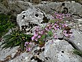 Fleurs des gorges de l'Ardèche 04.jpg