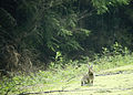 Flickr - Oregon Department of Fish & Wildlife - snowshoe hare swart odfw.jpg