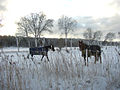 Flickr - Per Ola Wiberg ~ mostly away - horses.jpg