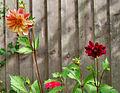Flickr - ronsaunders47 - TWO BLOOMS..jpg