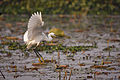 Flight of the Egret (7174578038).jpg