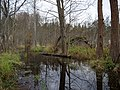 Flooded path in the Teufelsbruch swamp 15.jpg