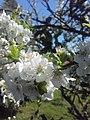Flor do limoeiro (Vilela, Moaña).jpg