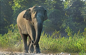 Siliguri - Wild Indian Elephant at Mahananda Wildlife Sanctuary