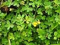 Flora from Madayipara DSCN2602.jpg