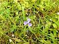Flora from Madayipara DSCN2625.jpg