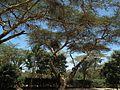 Flora of Tanzania 2461 Nevit.jpg
