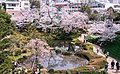 Flower viewing event in Tokyo, Japan; April 2014 (11).jpg