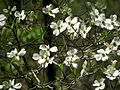 Flowering Dogwood - Flickr - treegrow (2).jpg