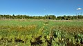 Forests near Lake Metz and Puchino.jpg