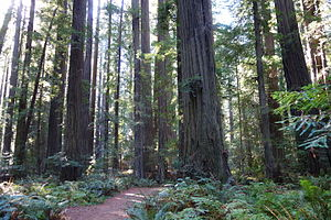 Avenue of the Giants - Image: Founders Grove Loop Trail Humboldt Redwoods State Park DSC02496