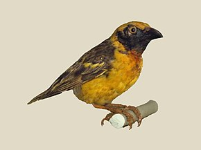 Description de l'image Fox's Weaver specimen RWD.jpg.