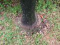 Fox tail palm 3.jpg
