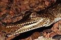 Fresh Water Crocodile (Crocodylus johnstoni) (8697802314).jpg