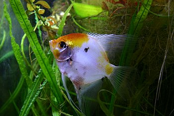 Freshwater angelfish, Koi phenotype