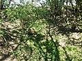 Fritillaria imperialis sl9.jpg