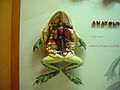 Frog anatomy.JPG