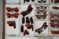 Fulgoridae Drawers - 5036700250.jpg