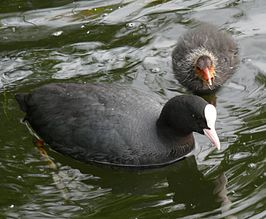 Fulica atra, adult and chick.jpg