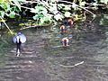 Fulica atra with chicks - Orpington - 7.jpg
