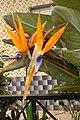 Fuseta - bird of paradise flower (13401400333).jpg