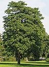 Götterbaum (Ailanthus altissima)