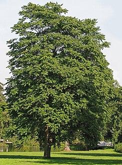 شجرة أيلنط باسق كبيرة تنمو في منتزه في ألمانيا