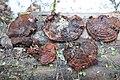 Ganoderma lucidum 69960651.jpg