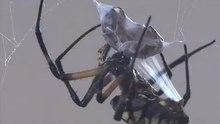 File:Garden spider - Argiope aurantia capturing honeybees-iPhone.webm