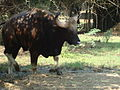 Gaur Bison in Vandaloor Zoo.JPG