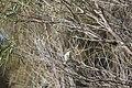Gavicalis virescens (27153652115).jpg