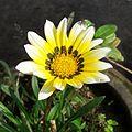 Gazania Rigens Yellow White (1).jpg
