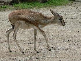 Gazella subgutturosa baby.JPG