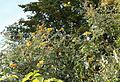 Gelber Schmetterlingsflieder (15628979820).jpg