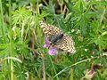 Gemeiner Scheckenfalter - Melitaea cinxia.jpg