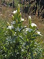 Gentianella germanica (21754710235).jpg
