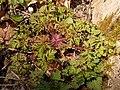 Geranium robertianum 2021-04-28 6073.jpg