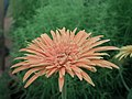 Gerbera from Lalbagh flower show Aug 2013 7964.JPG