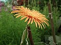 Gerbera from Lalbagh flower show Aug 2013 7965.JPG