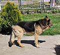 German Shepherd Dog.jpg