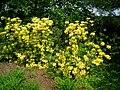 Ghent hybrid rhododendron - Tower Hill Botanic Garden.JPG