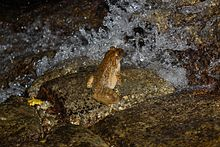 Giant Spiny Frog (Quasipaa spinosa) 棘胸蛙2.jpg